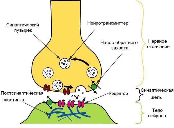 Схема процесса передачи нервного сигнала в химическом синапсе