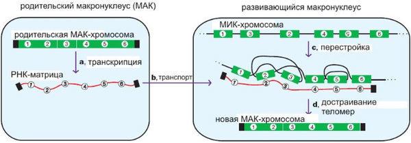 Схема сборки нанохромосом у Oxytricha trifallax