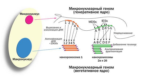 Реорганизация микронуклеарного генома в макронуклеарный геном у Oxytricha trifallax