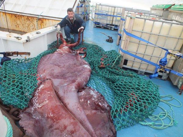 Пойманный гигантский кальмар в море Росса