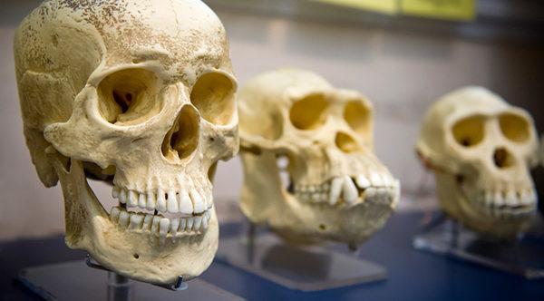 эволюция рода homo